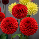 Variety of Colorful Dahlias